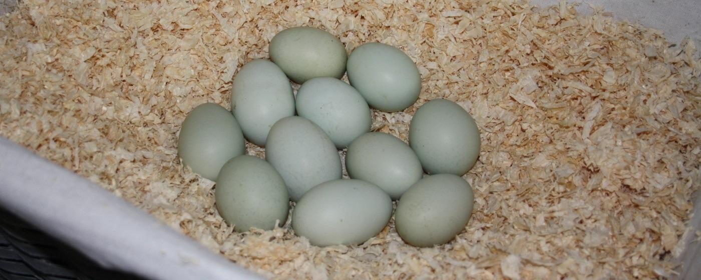 Blaue Hühnereier