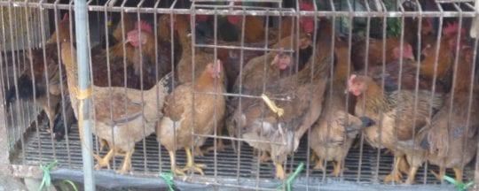 Ist Käfighaltung bei Hühnern verboten?