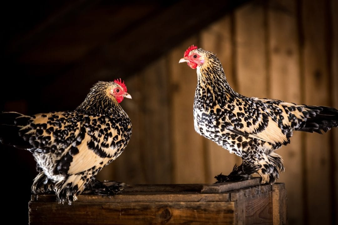 Hühnerrasse: Federfüßige Zwerghühner