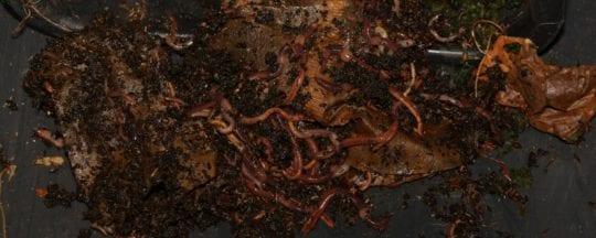 Kompostwürmer aus der Wurmfarm ernten