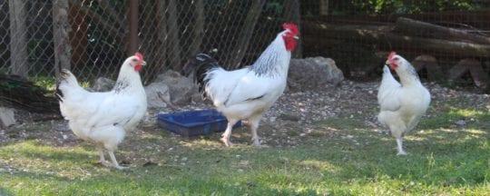 Seltene Hühnerrassen - Bergische Kräher, Sussex und mehr