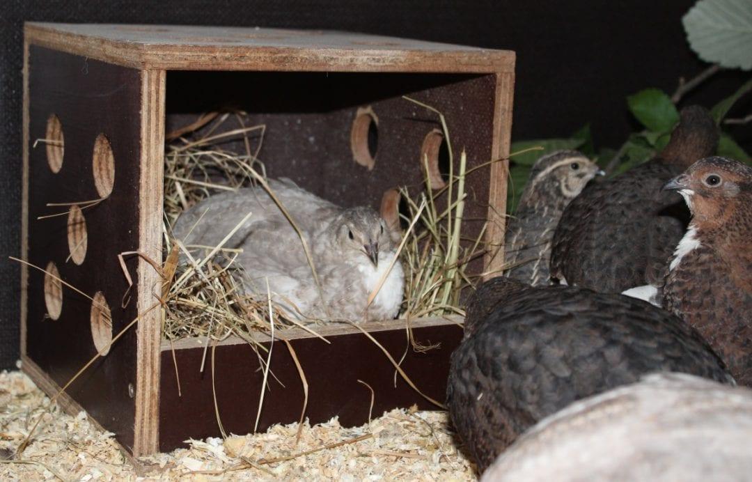 Wachteln legen Eier im Nest