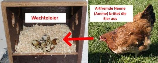 Ammenbrut durch eine andere Henne