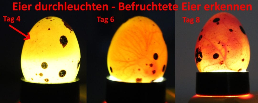 Befruchtete Eier erkennen