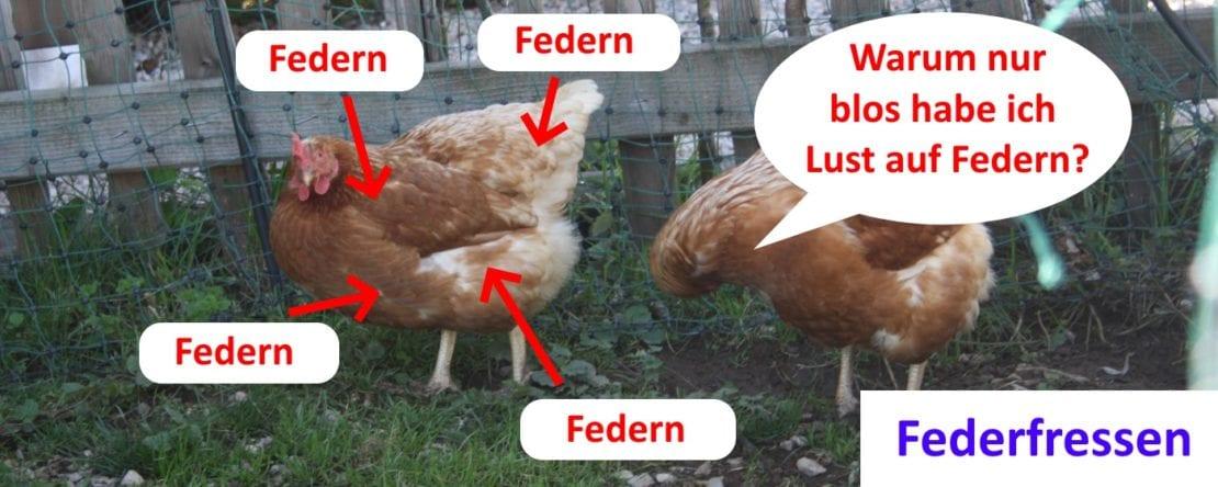 Federfressen bei Hühnern