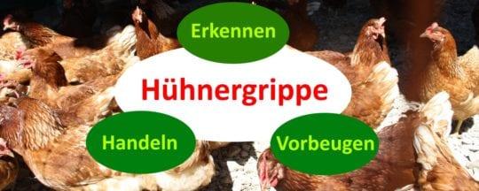 Hühnergrippe erkennen, behandeln und vorbeugen