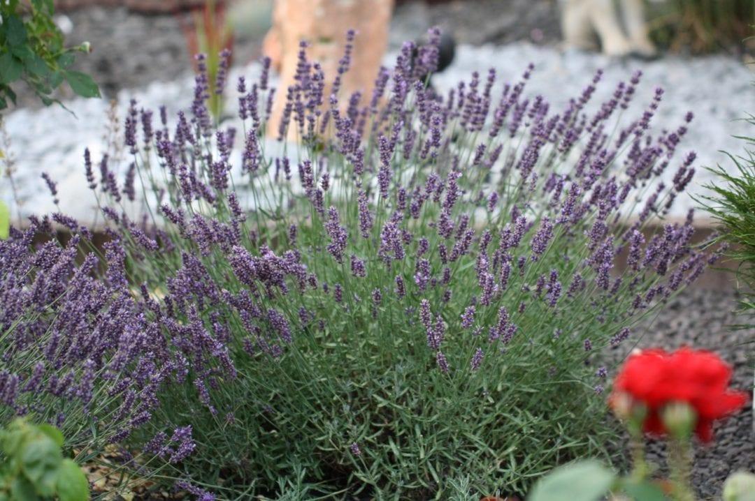 Lavendel beruhigt