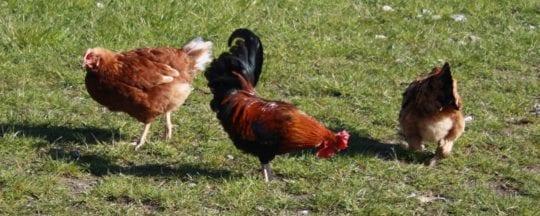 Wie lang lebt ein Huhn?