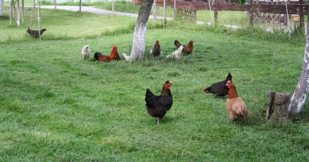 Großer Auslauf für die Hühner