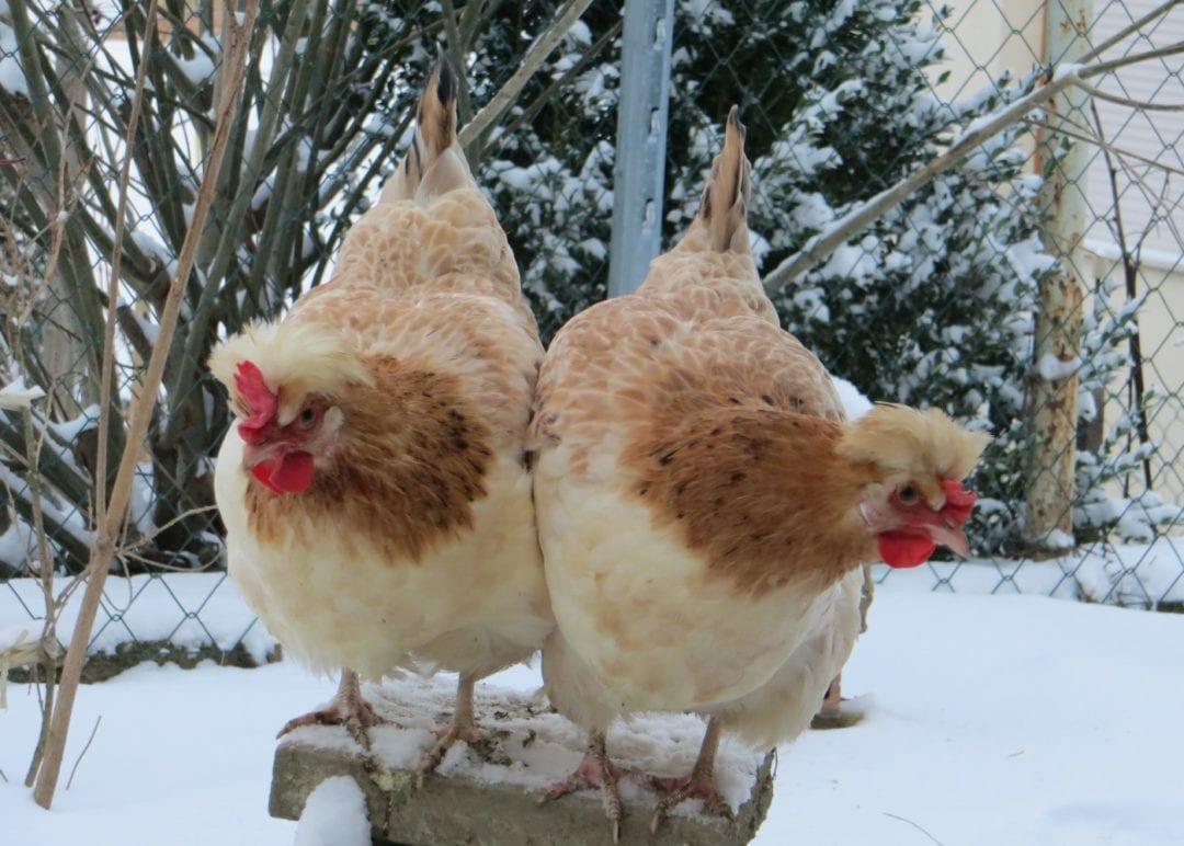Robuste Sulmtaler Hühner im Winter