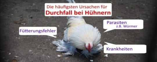 Durchfall bei Hühnern