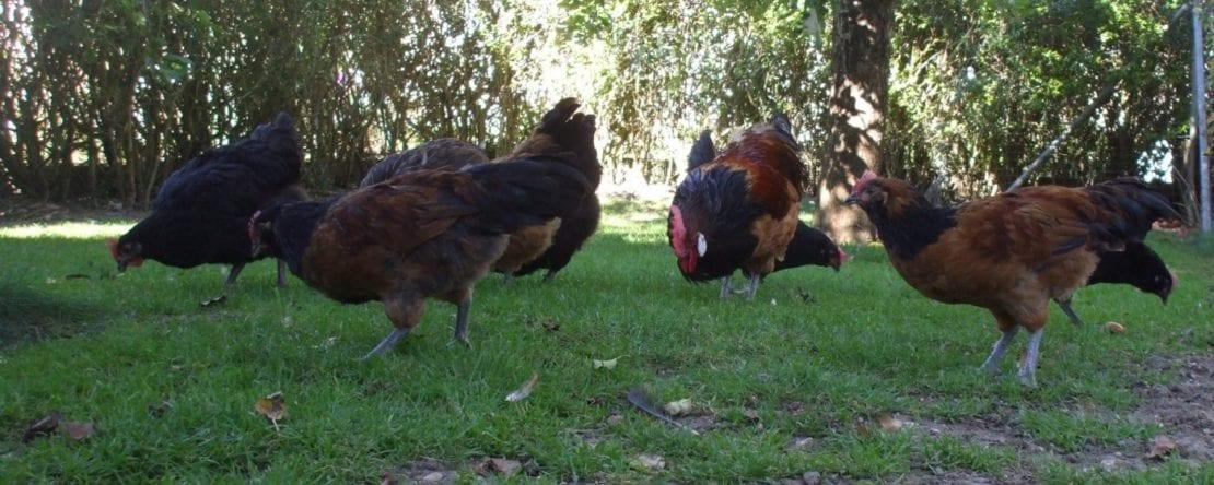 Hühner im Freilauf mit Beeten