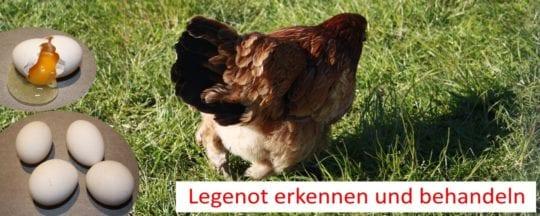 Legenot bei Hühnern