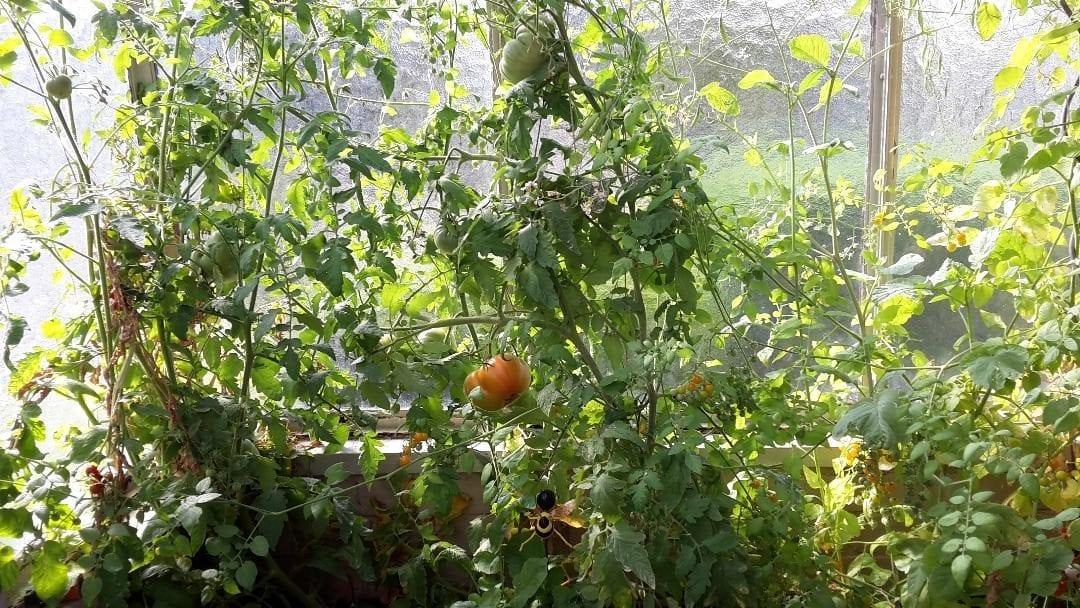 Tomaten im Hochbeet