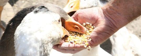 Artgerechte Ernährung von Enten
