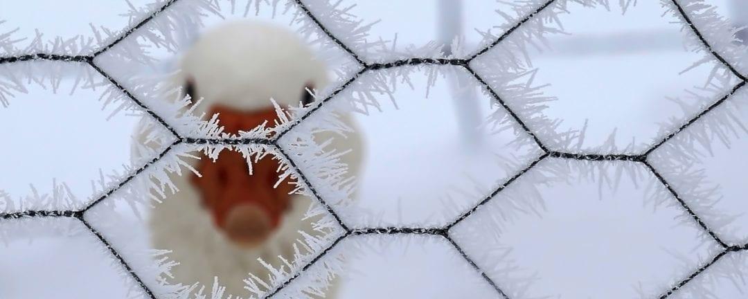 Enten halten im Winter