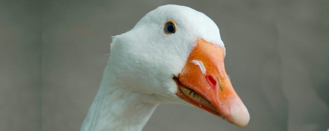 Was kostet eine Ente?