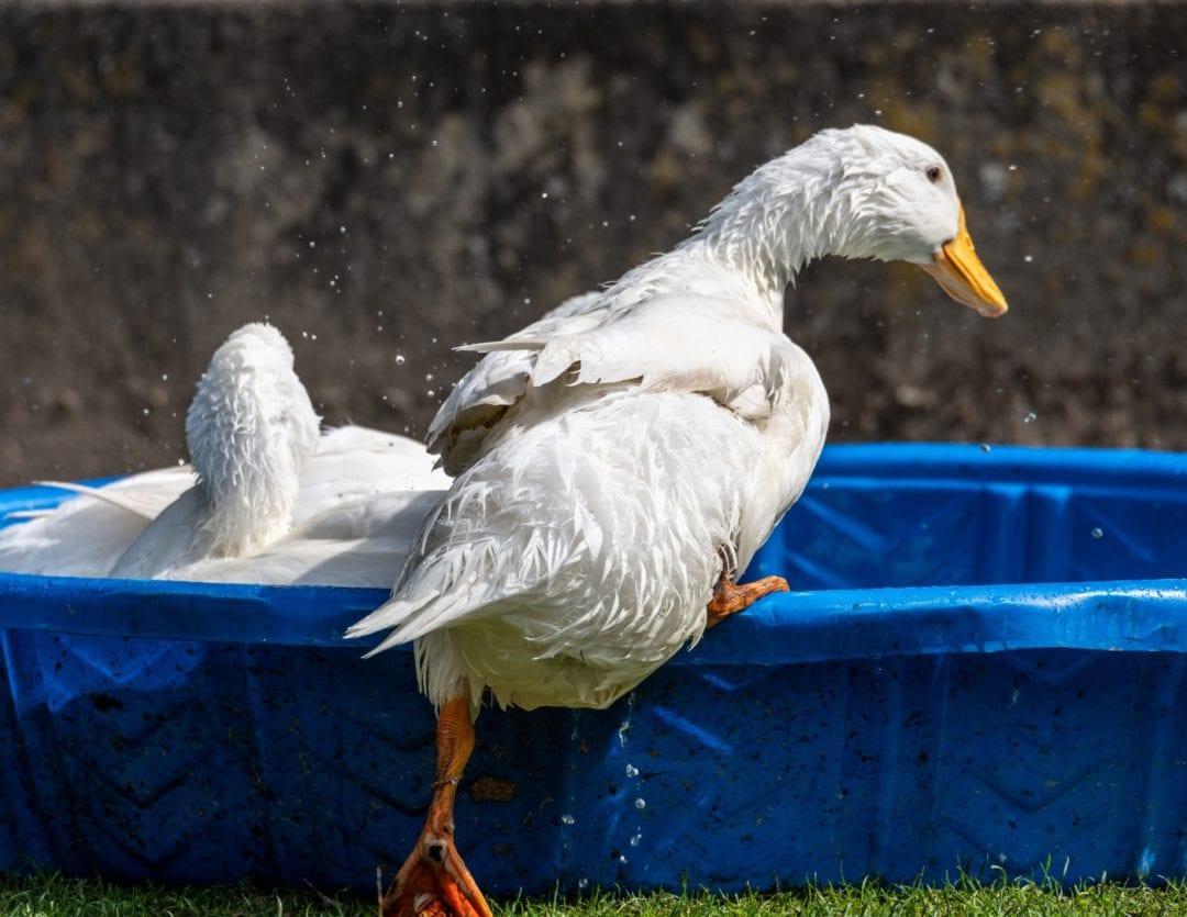Enten baden im Wasser