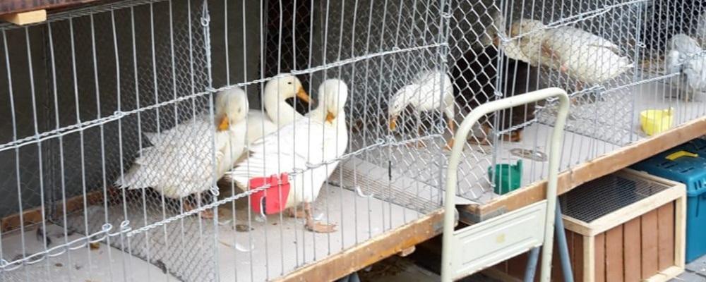 Enten kaufen
