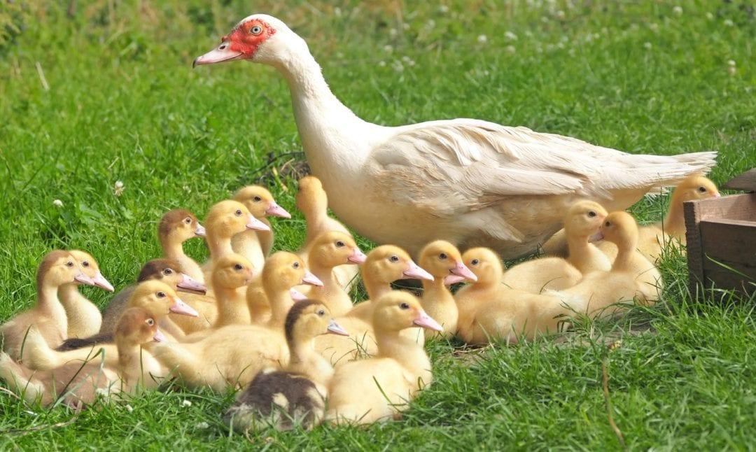 Enteneier ausbrüten durch die Ente