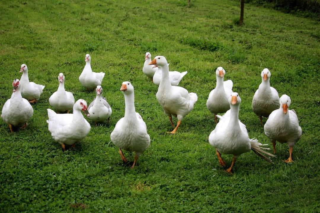 Enten halten auf viel Platz