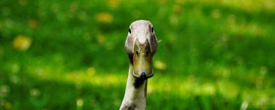 Häufige Enten Krankheiten