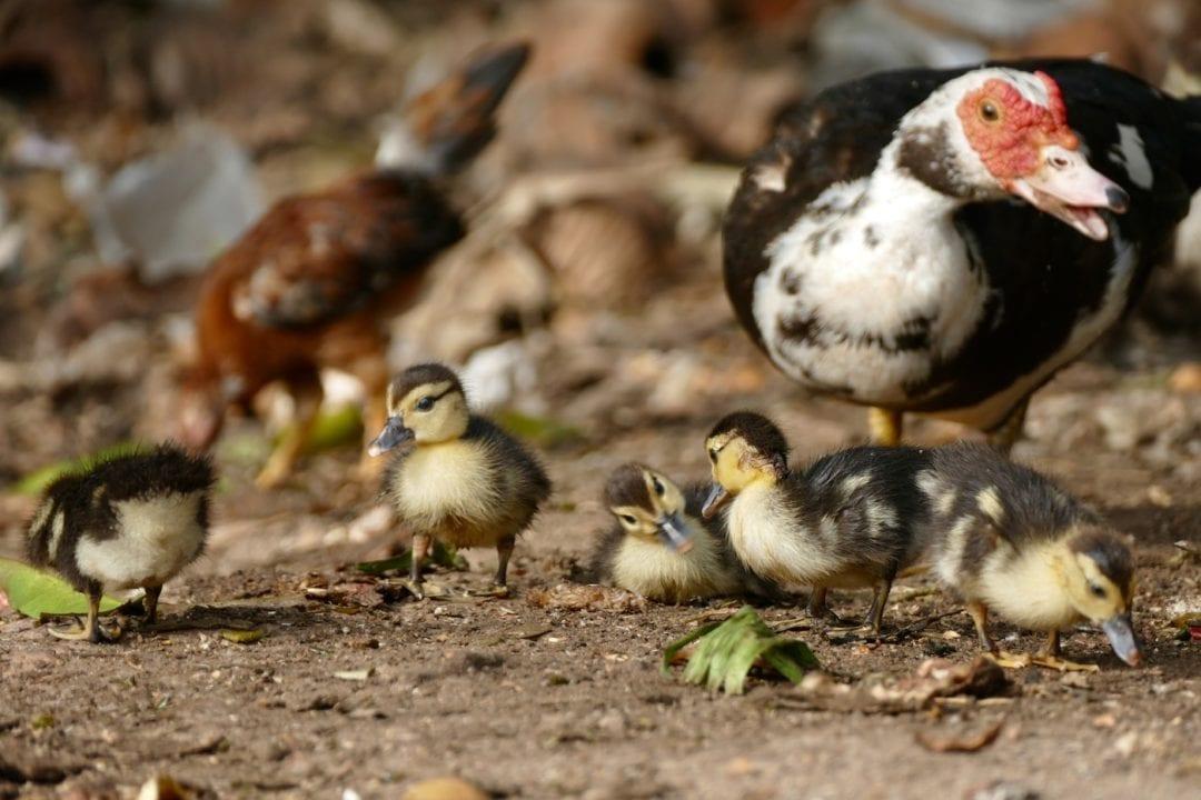 Aufzucht der Entenküken durch die Ente