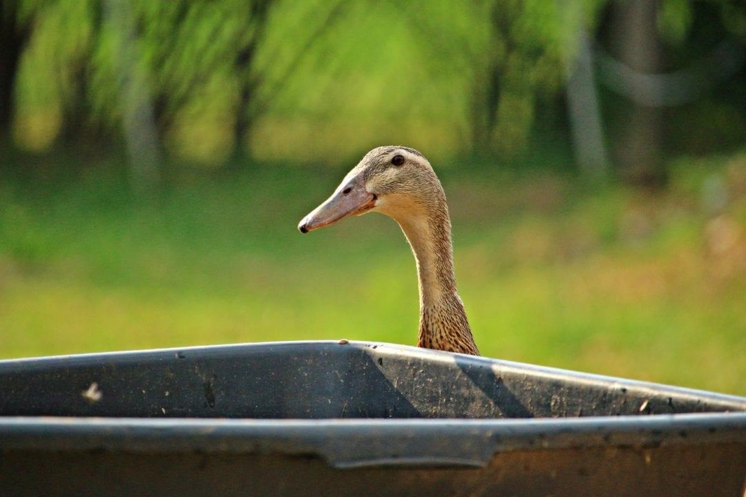 Enten brauchen Wasser