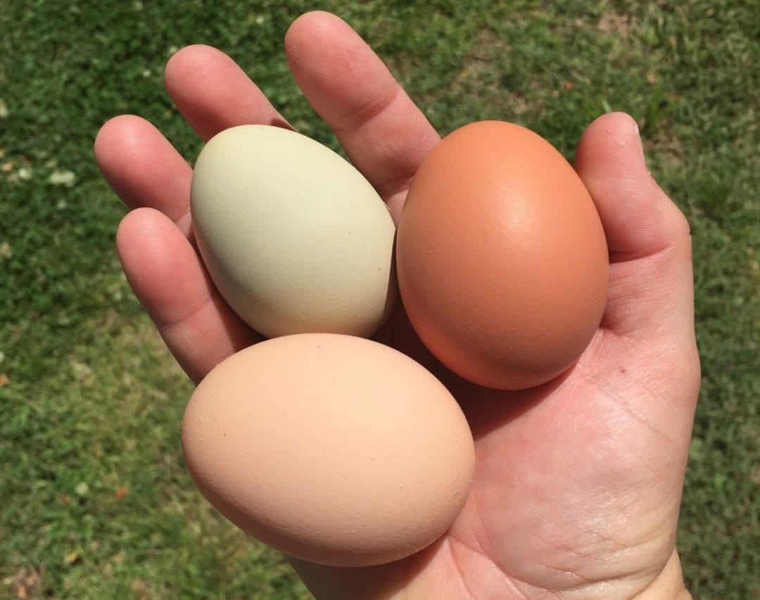 Eier aus den Legenestern nehmen
