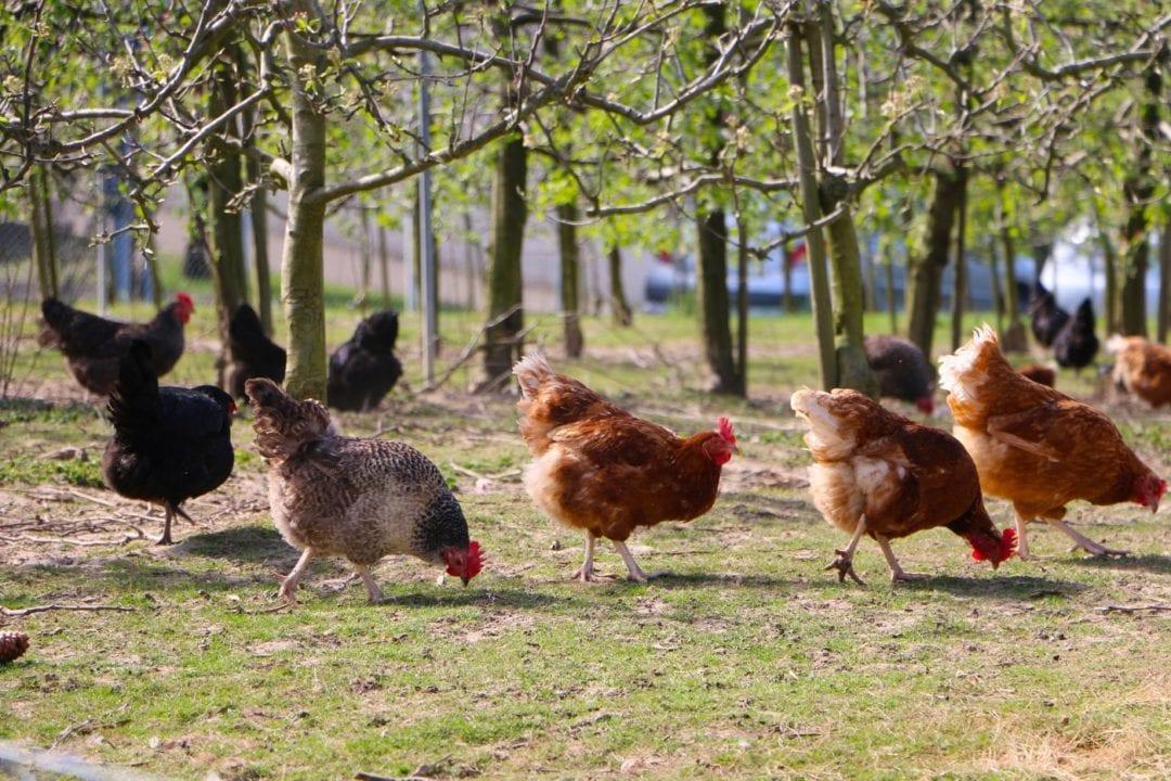 Hühner beobachten während dem Hühner füttern
