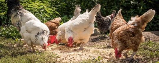 Tägliches Hühner füttern