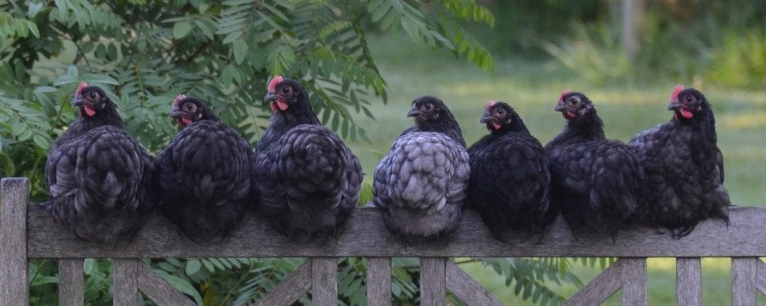 Hühner und Urlaub