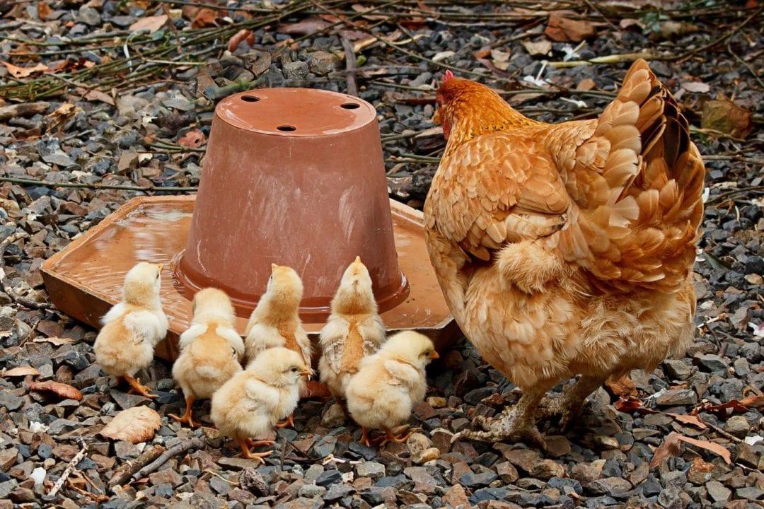 Hühnertränke reinigen
