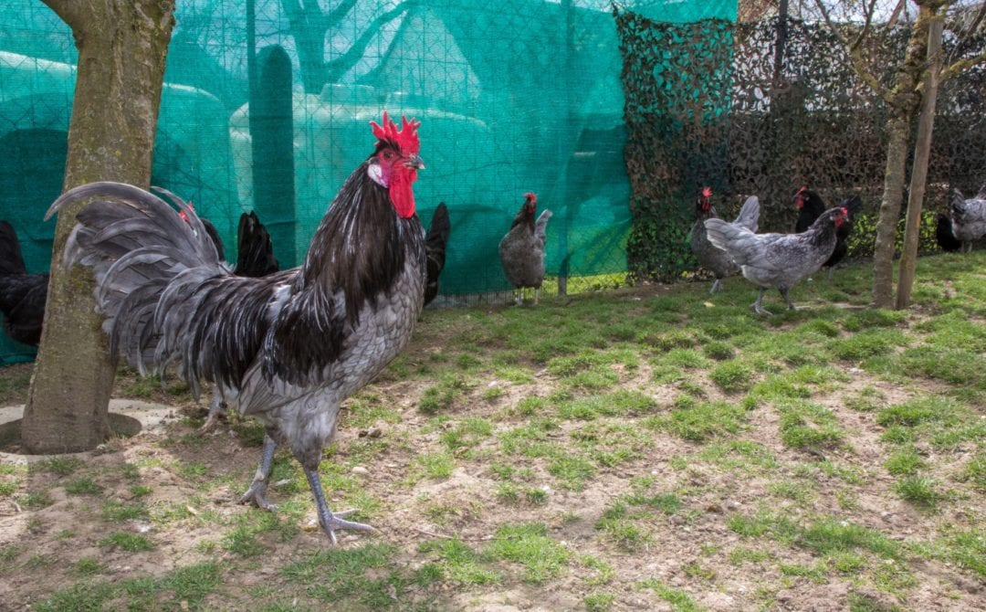 Haltung der Augsburger Hühner