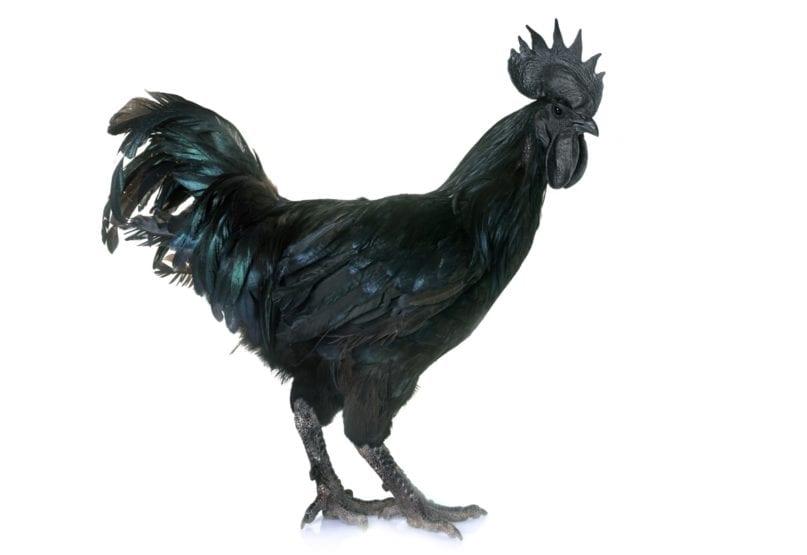 Ayam Cemani - Schwarze Hühner