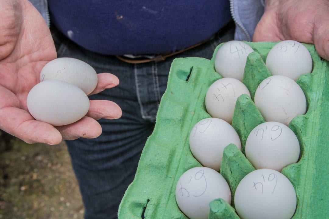 Eier der seltenen Rasse Augsburger Huhn