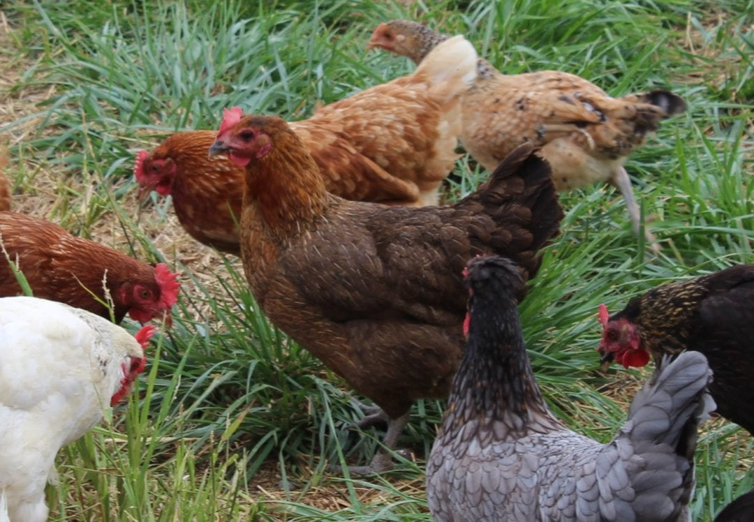 Haltung der Italiener Hühner