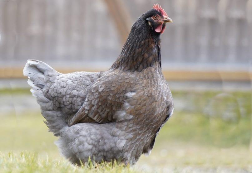 Königsberger Huhn