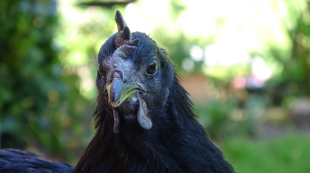 Schwarze Hühner