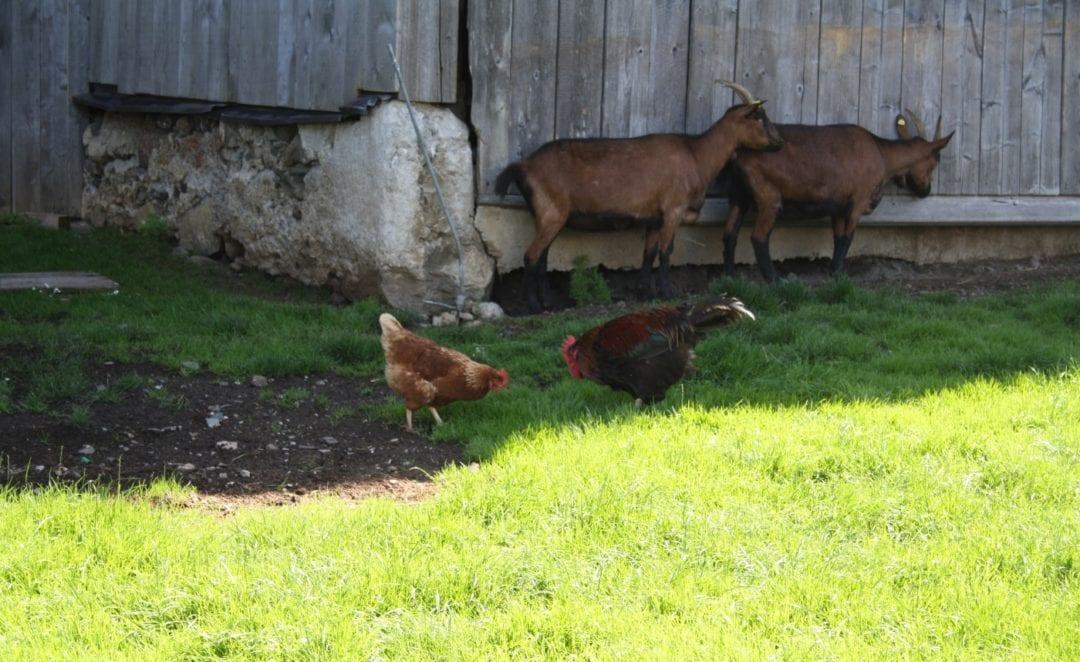 Freilaufende Hühner mit Hahn