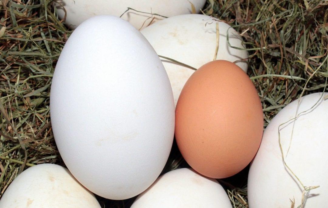 Gänseei und Hühnerei im Vergleich