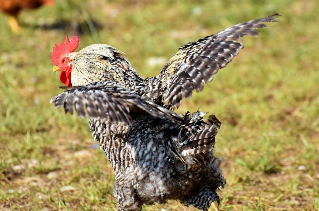Dem Hahn die Flügel stutzen