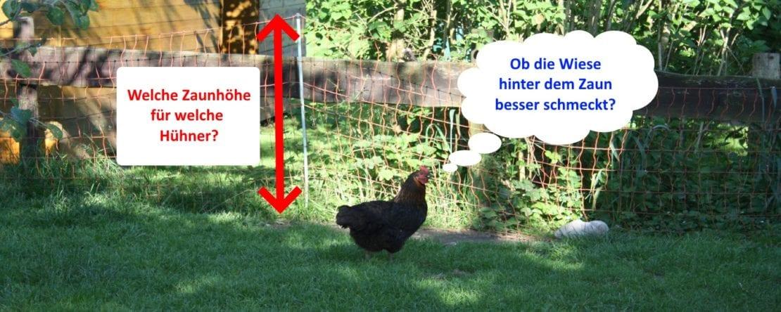 Welche Zaunhöhe für Hühner