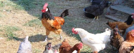 Hühner anmelden