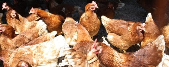 Hybridhühner
