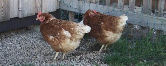 Hybriden: Das Lohmann Huhn