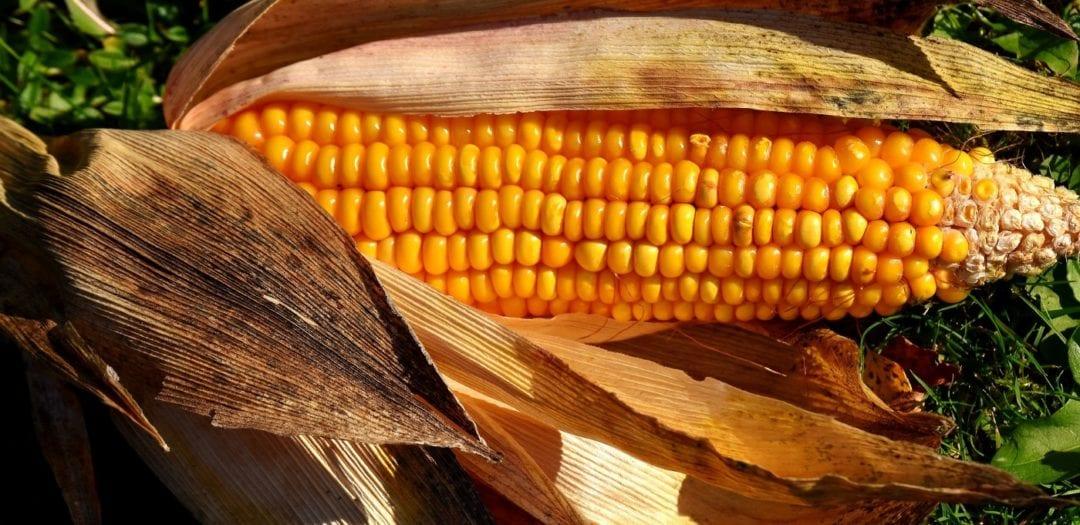 Maiskolben vom Feld