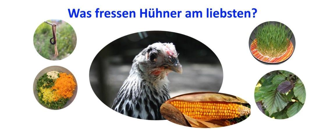 Was fressen Hühner am liebsten?