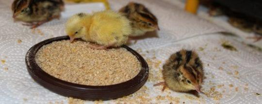 Was fressen Hühnerküken?