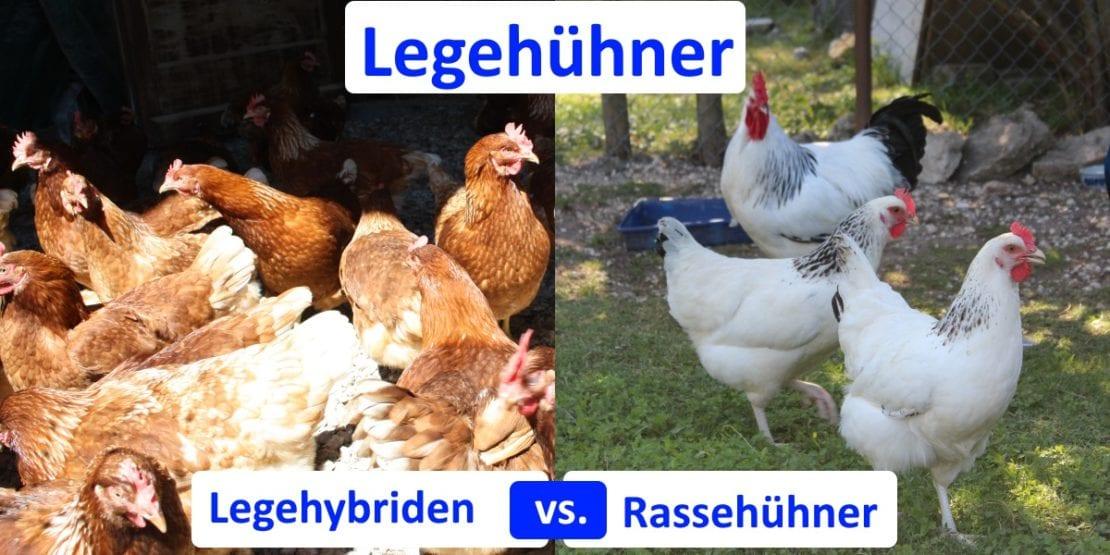 Legehühner - Hybriden oder Rassehühner?